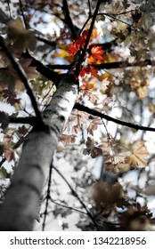 Fall maple leavesin autumn season trees