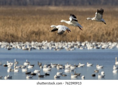 Fall migration of snow geese (Chen caerulescens), Loess Bluffs National Wildlife Refuge, Missouri, USA