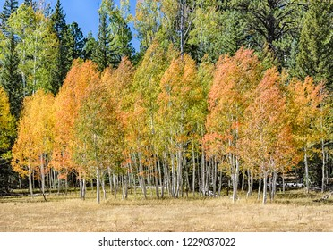 Fall on the North Kaibab puts me on color overload when the Quaking Aspen turn a spectrum of warm colors and the wind blows the leaves to quake, shiver, shake, and clatter. I hear the Aspen song.