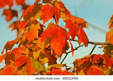 Fall orange color tree leaves, autumn colors