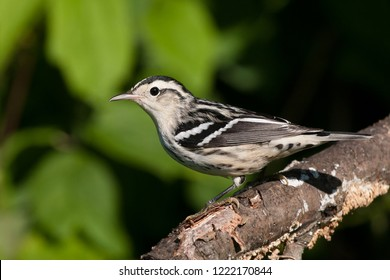 A fall plumage female Black-and-white Warbler perching on a tree branch