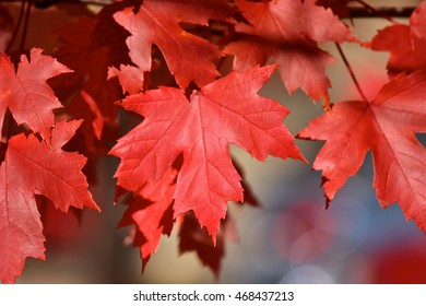 Fall red color tree leaves, autumn colors