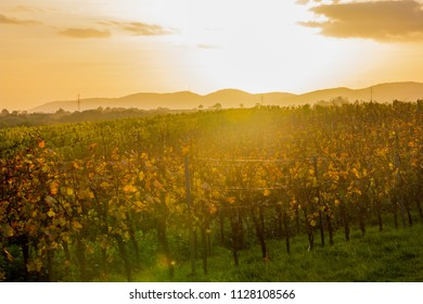 Fall scenery with wineyards in autumn in Rhineland-Palatinate, Germany near the German wine street