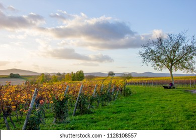 Fall scenery with wineyards and rose bushes and a woman sitting on a bench with her black dog in autumn in Rhineland-Palatinate, Germany near the German wine street with the palatine forest hills
