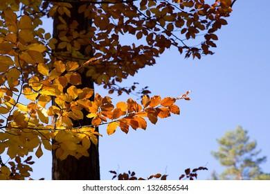 fall season beech leaves,