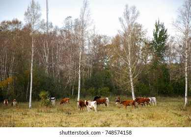 Fall season colors in a meadow with grazing brown and white cattle