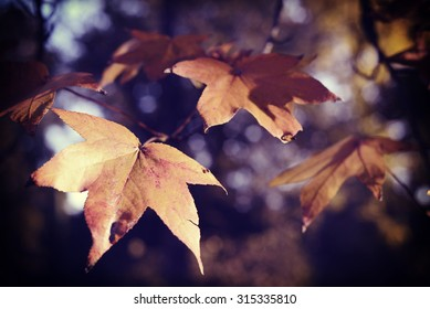 Fall season foliage close up of tree branch and leaves with soft blur background.