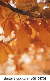 Fall season, orange leaves