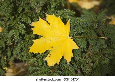 Fall, single yellow maple leaf