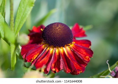 Fall sneezeweed Helenium autumnale, Red Shades
