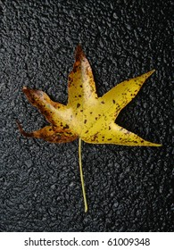 Fall sweetgum leaf on black background