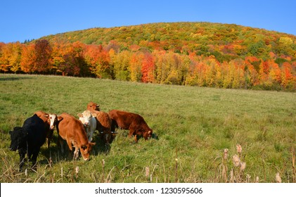 In fall time Limousin cattle are a breed of highly muscled beef cattle originating from the Limousin and Marche regions of France. Bromont Eastern Township Quebec Canada