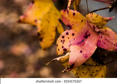 Fall Transformation of Maple Leaves