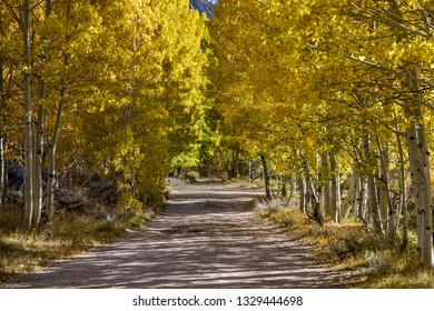 Fall Tree lined dirt road surrounded by yellow and gold tree leaves in Bishop California
