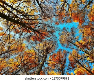 Fall tree tops shot from below. Blue sky background through tree tops & branches in autumn forest. Autumn fall treetop backgroung golden orange colors tree tops scenic landscape autumn season park