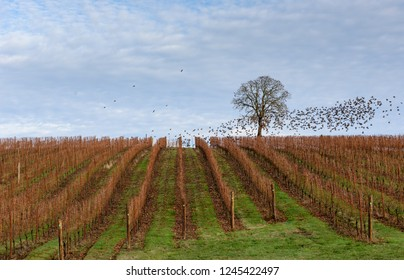 A Fall Vineyard Setting in the Mid Willamette Valley of Western Oregon