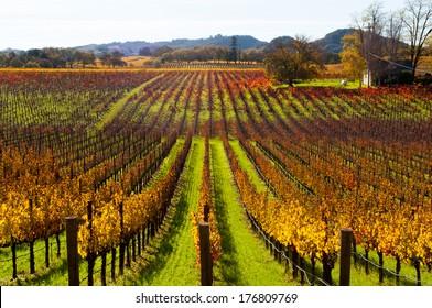 Fall vineyards near Healdsburg, California.
