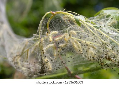 Fall webworm caterpillar larva feeding and growing together in a silken web covering a tree branch in autumn