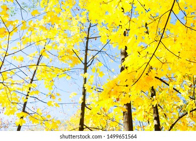 fall yellow leaves and blue sky and tree branches bokeh background with sun beams