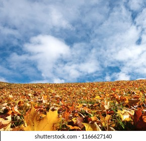 Fall Yellow maple leafs and Crear Sky Background