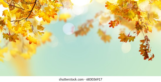 Fall yeloow and orange maple leaves on blue sky background banner