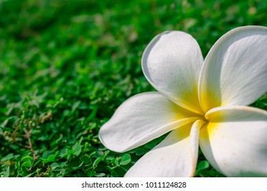 Falled white plumeria flower is on the green grass