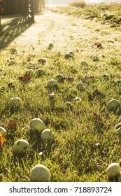 Fallen apple field