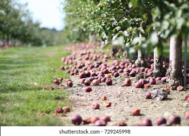 Fallen apples along an apple orchard