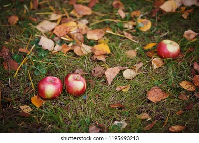 Fallen apples in the fall on the grass among the dried leaves