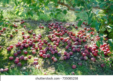 Fallen apples under the tree in the orchard