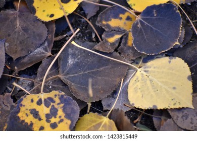 Fallen Autumn Aspen Leaves Woods Natural