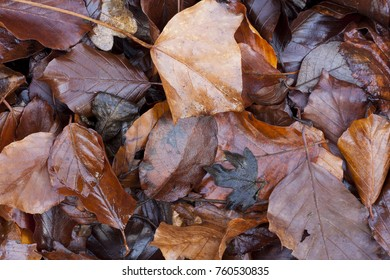 Fallen autumn beech leaves mixed with wet chalky clay creating natural textures