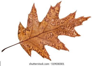 Fallen autumn leaf of oak, isolated on white background