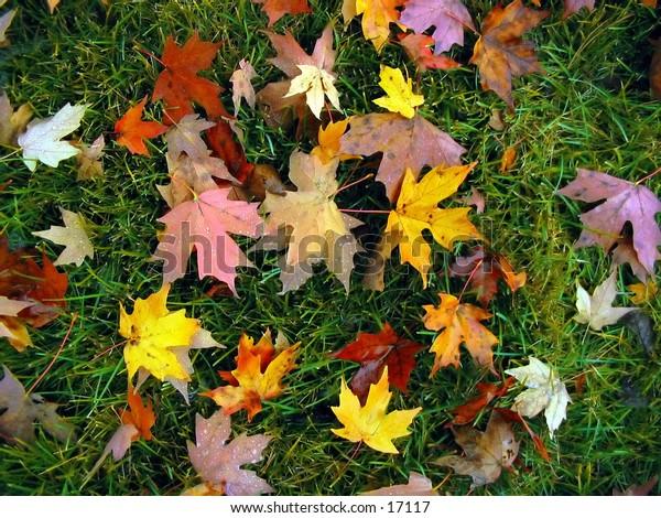 Fallen autumn leaves after a light fall shower, against a green grass background.