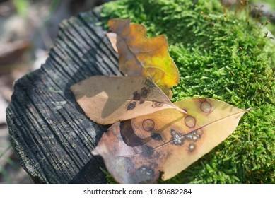 fallen autumn leaves on mossy tree stump macro