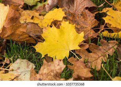 fallen autumn maple leaves on grass