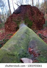 Fallen beech tree uprooted.