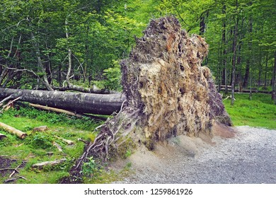 fallen big tree show uprooted in forest with many green trees on background