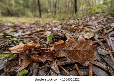 Fallen brown oak leaves and twigs on the ground in the woods in autumn. Rainy day with wet ground.