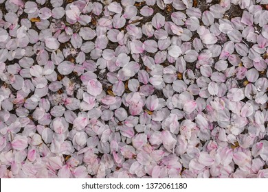 Fallen cherry petals background