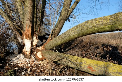 Fallen damaged tree trunks along river bank. Beavers chiselled wood, peeled and  snacking on the bark, fell and chop down trees with their strong and sharp teeth for food and building dams and lodges.