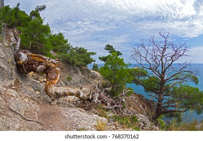 The fallen dead relic pine blocks the mountain path that runs along the seashore. Crimea.