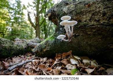 fallen dead tree trunk in an autumn forest. Slimy white fungi take over tree stump as part of a natural decomposition process