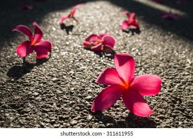 Fallen flowers of red frangipani (plumeria rubra) on asphalt