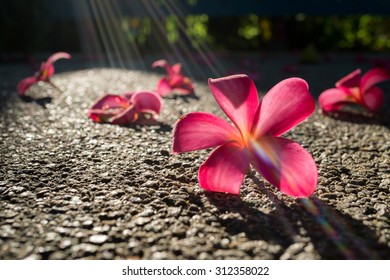 Fallen flowers of red frangipani (plumeria rubra) on asphalt in bright sunlight with sun rays