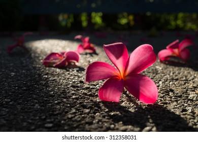 Fallen flowers of red frangipani (plumeria rubra) on asphalt in a beam of sunlight