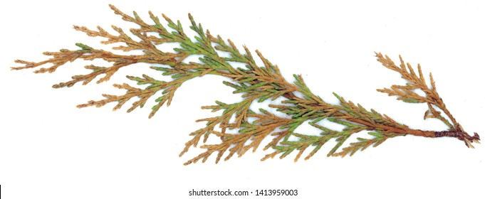 Fallen, green and autumnal rustic Western red cedar (Thuja plicata)) starting to decay and showing texture isolated against a white background.