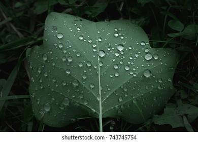 Fallen Green Tulip Tree Leaf with Rain Drops