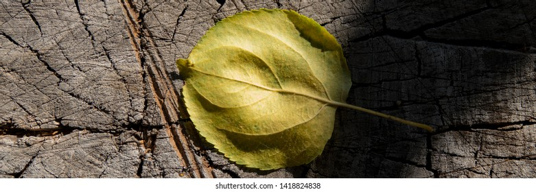 fallen leaf of an apple tree lies on a stump, the autumn season. Web banner for your design.