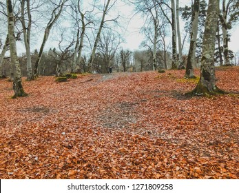 Fallen leaf in the autumn forest. Forest with bare trees and dry fallen orange autumn leaves. Autumn in the mountains. Bakuriani.